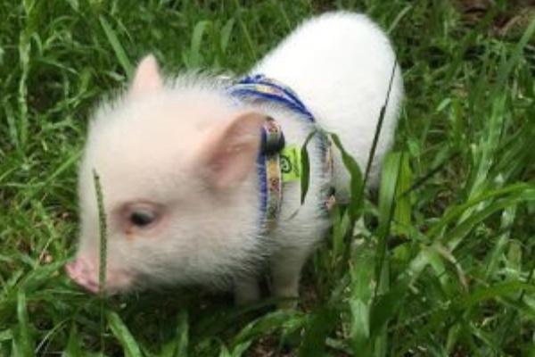 Fundraiser By Noah Krentz Baby Teacup Pig