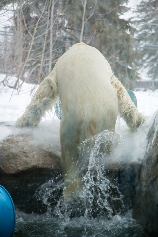 Fundraiser For Vanessa Vachon By Karen Cummings Repair The Polar Bear Habitat