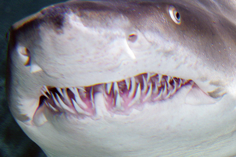 картинка у акулы зуб болит коржи легко