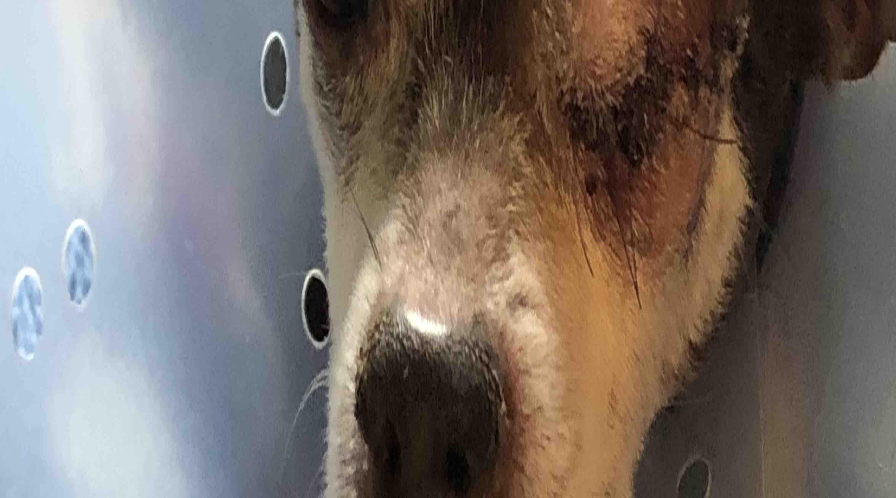 Fundraiser by Ryan Akers : Meeko needs eye surgery