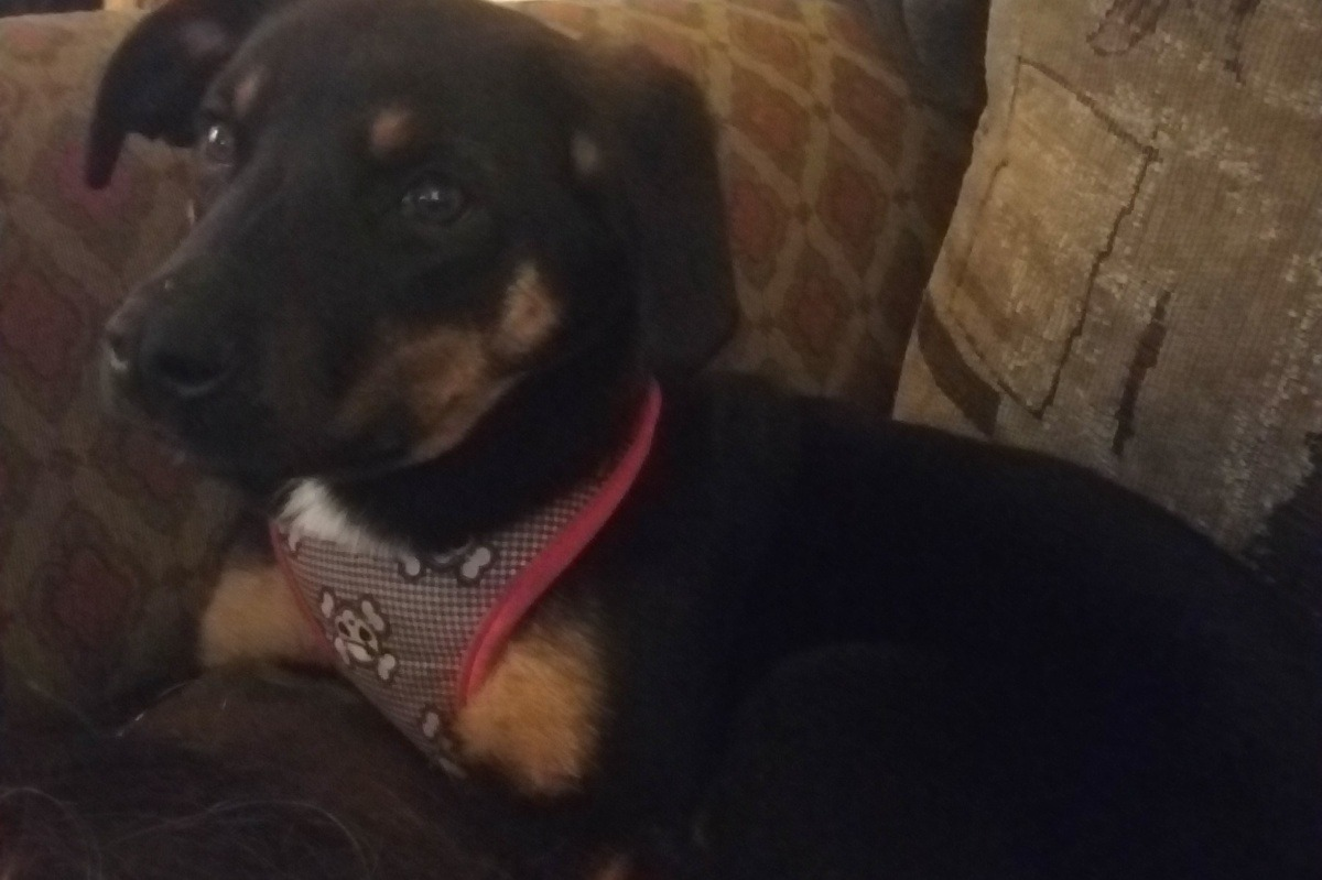 Fundraiser By Sandra Landers Emotional Support Dog Certificate