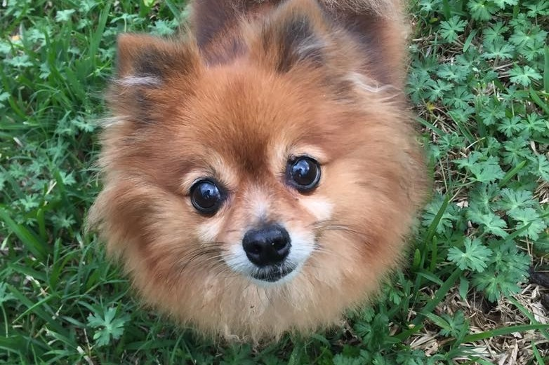 Fundraiser By Lauren Melissari Recycled Pomeranians Rescue