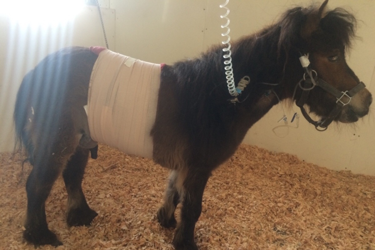 Fundraiser By Holly Broderick Tuffy The Mini Horse Surgery