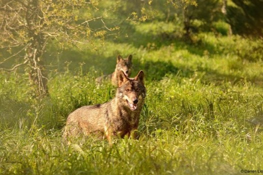 Fundraiser by Jessi Lou : Iberian Wolf Recovery Program