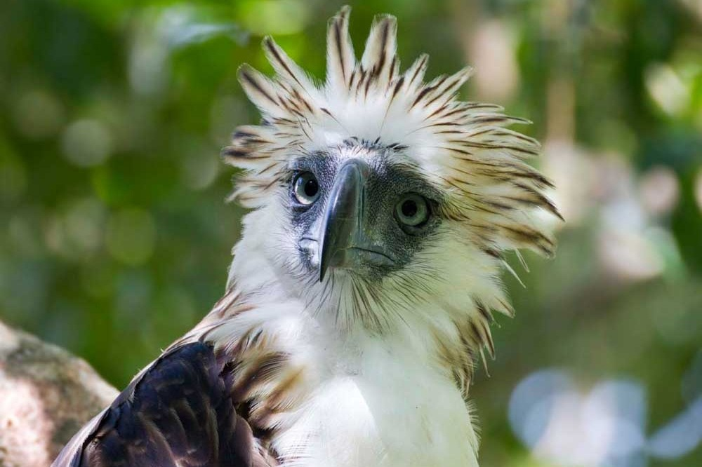 Fundraiser by travis dees philippine harpy eagle - Harpy eagle hd wallpaper ...