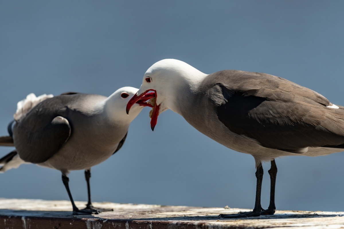 Fundraiser by Joanna Chin : Home for the Seaside Heermann's Gulls