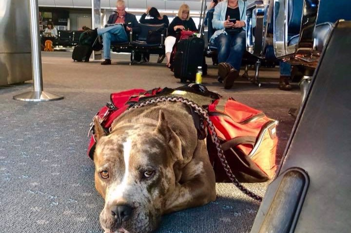 013108a36c Fundraiser by Luigi Francis Shorty Rossi   Pitbulls vs. Airlines Service  Animal Breed Ban