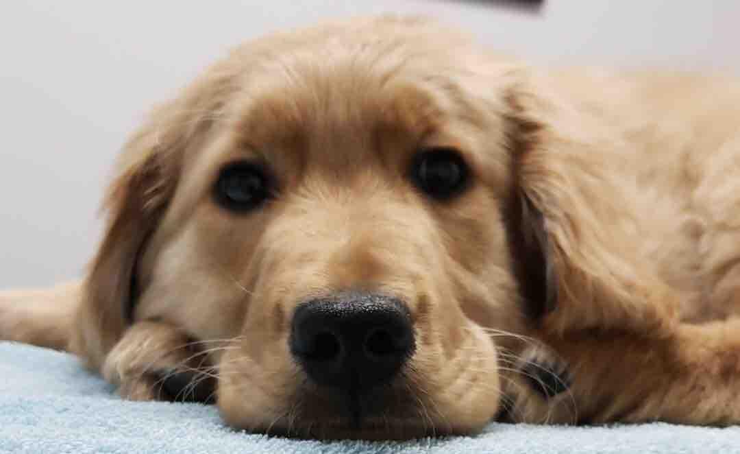 Fundraiser By Georgia Flinders Please Help Golden Retriever Puppy