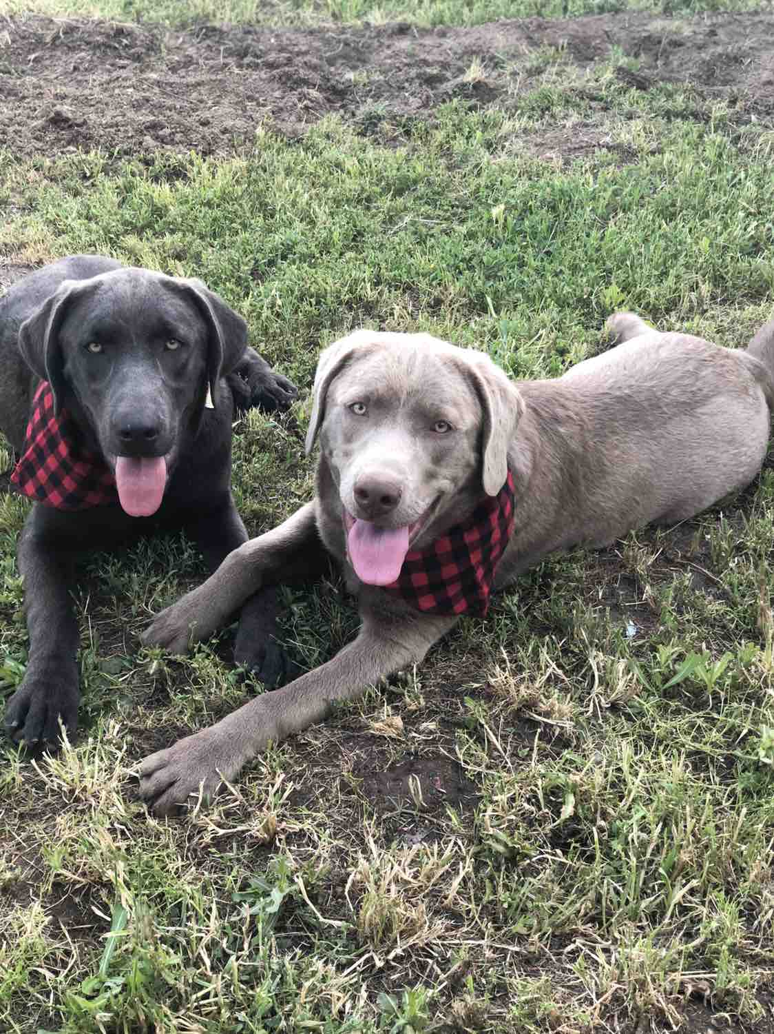 Fundraiser by Sis Mcfall : Colt the Silver Labrador needs