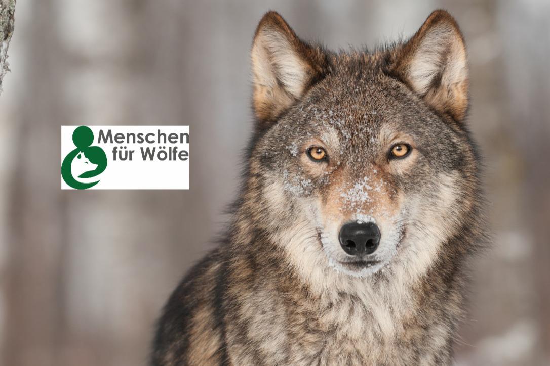 """Klicke hier, um Volker Vogels Kampagne """"Menschen für Wölfe"""" zu unterstützen"""