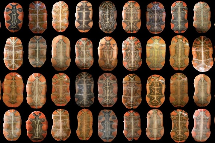 36 turtle shells are shown from above.