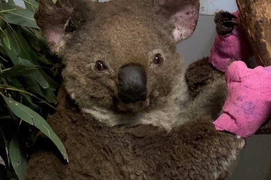Click here to support Help Thirsty Koalas Devastated by Recent Fires organized by Port Macquarie Koala Hospital